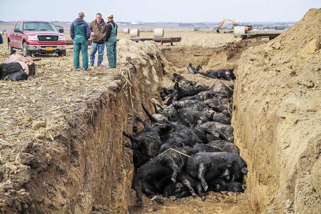 Захоронение на скотомогильниках по согласованию с ветслужбой